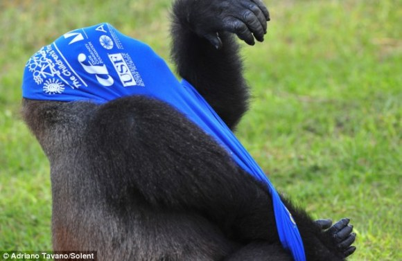 Gorilla stuck in shirt